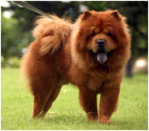 Raça de Cão Chow Chow